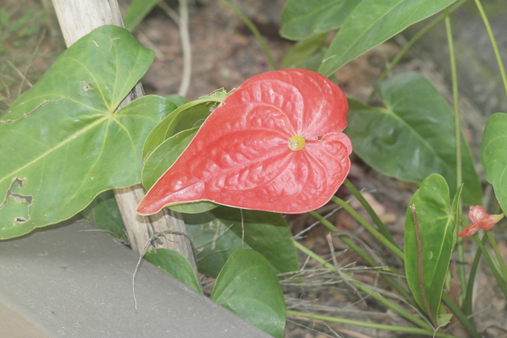 Free Photos - Flowers - Flowers - Anthurium Andreanam Tail