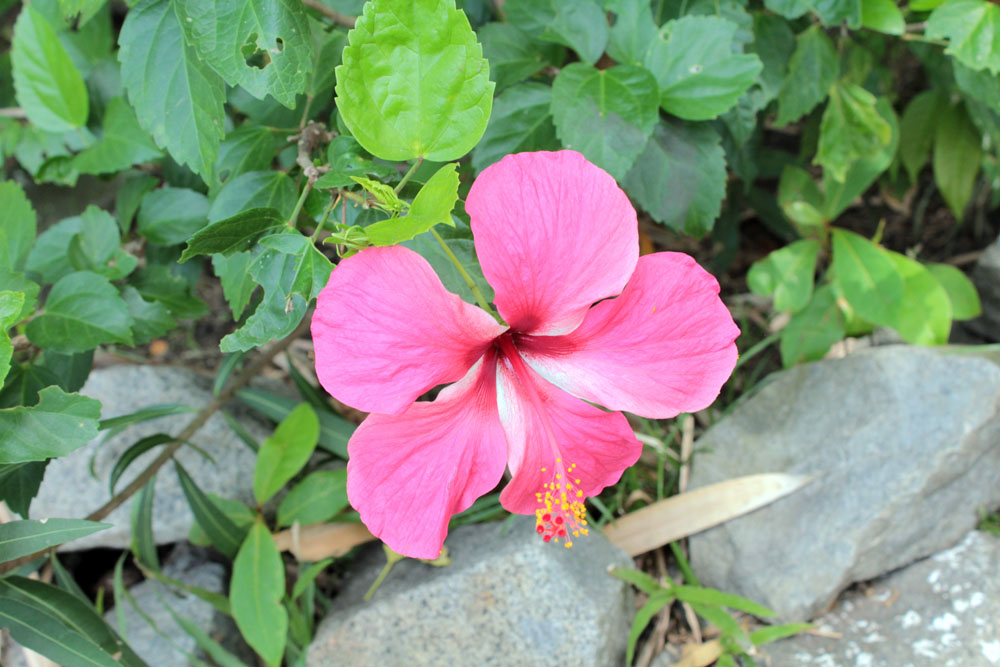 Free Photos - Flowers - Flowers - Hibiscus