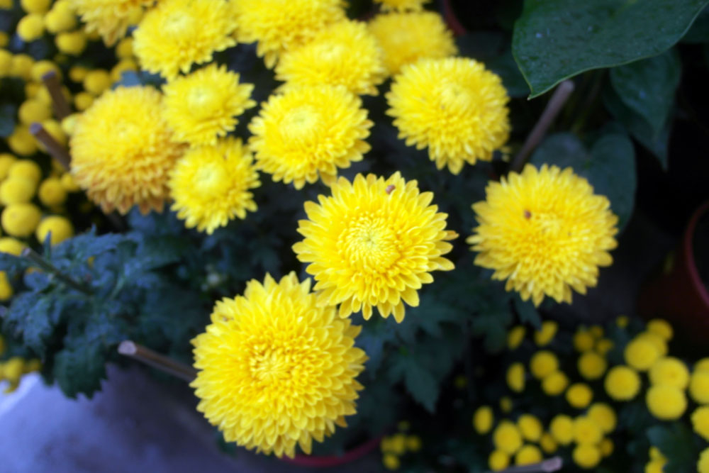Free Photos - Flowers - Yellow Colour Tansy Flower