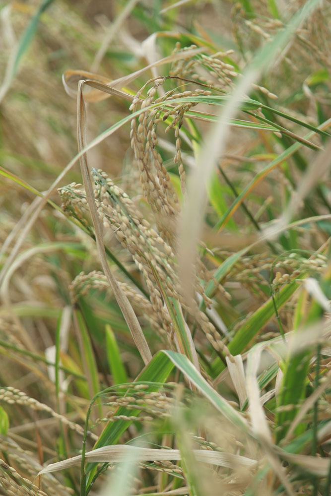 Free Photos - Nature - Paddy fields before harvest at Tamil Nadu